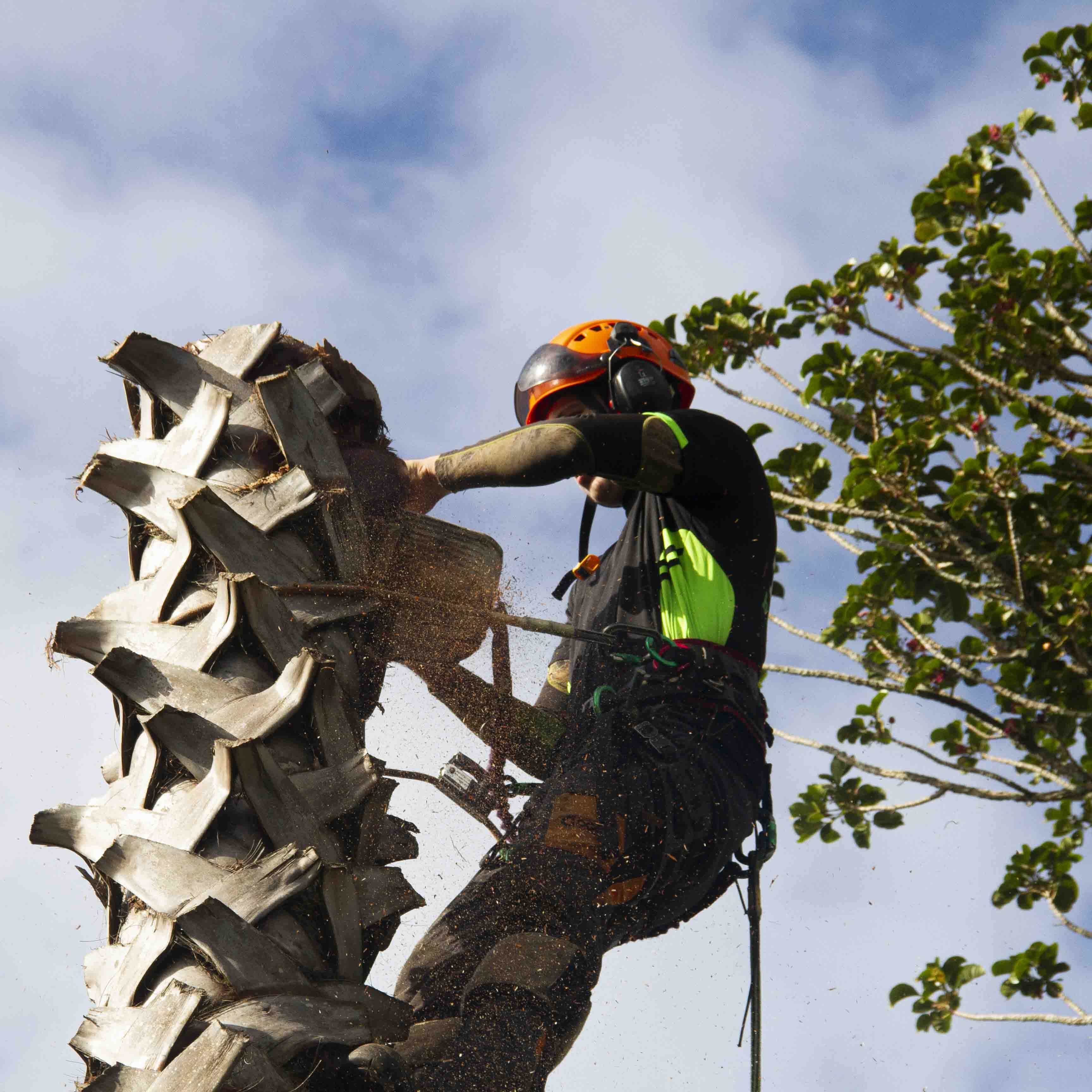 Arborist removing palm tree