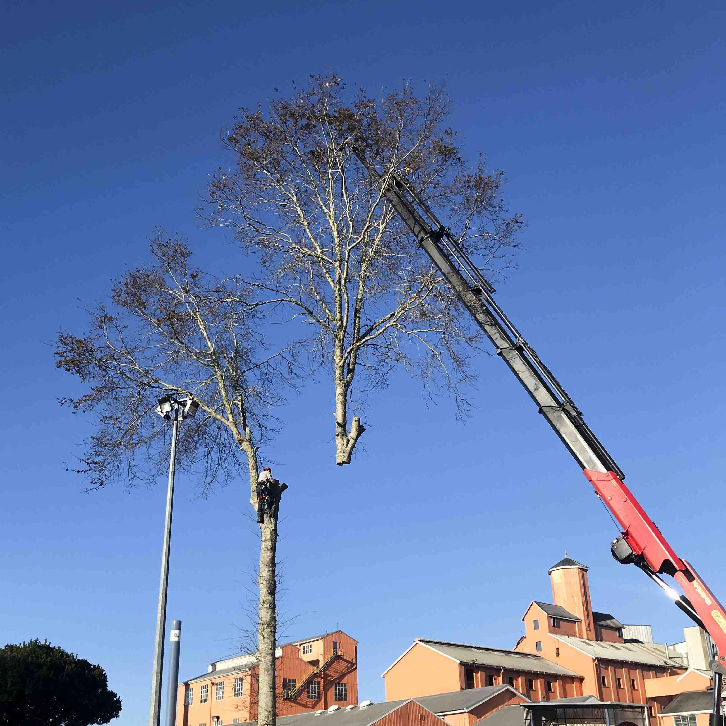 Arborist and crane removing large tree in sections.